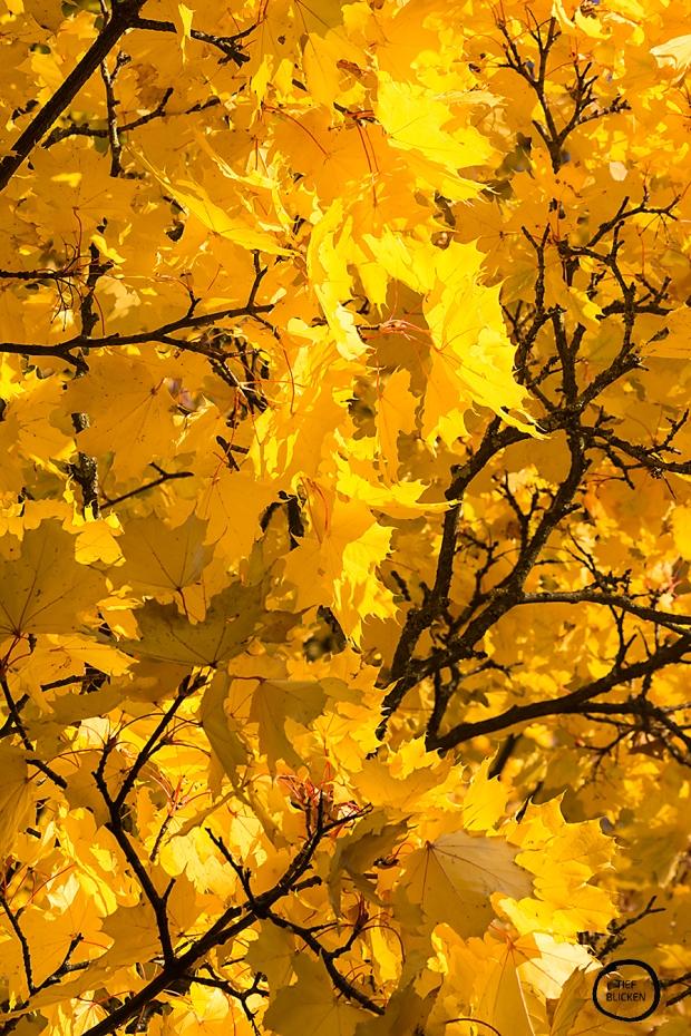 Goldener Oktober Blätter Fotoaufgabe 1-50